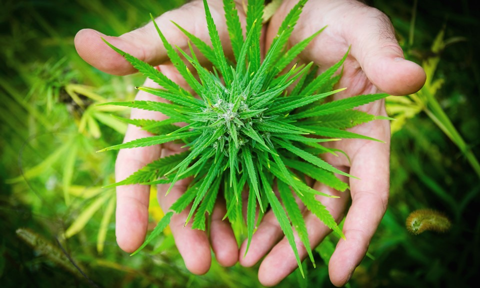 FACTS THAT MARIJUANA CAN BE USED FOR TREATING CANCER!