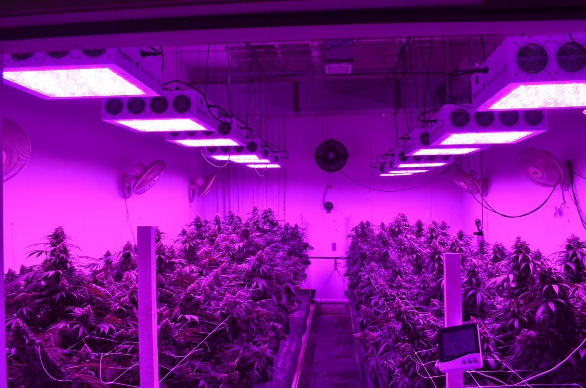 BLACK DOG LED GROW LIGHTS REVIEW